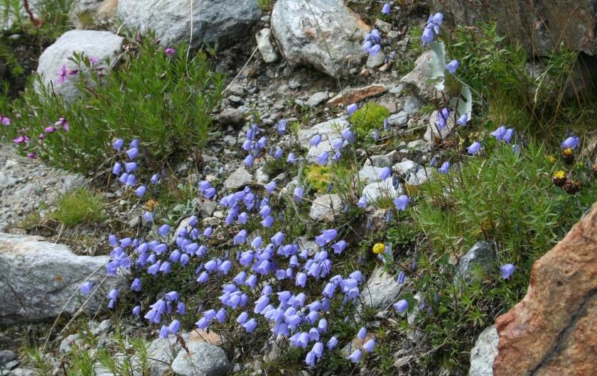Location de vacances - Chalet à Mizoën - fleurs sur chemin de randonnée