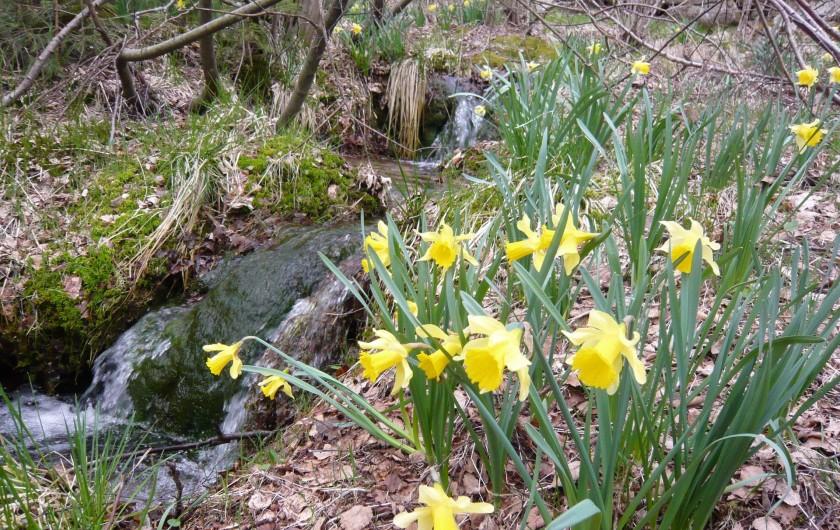 Location de vacances - Chalet à Le Tholy - le printemps avec les Jonquilles
