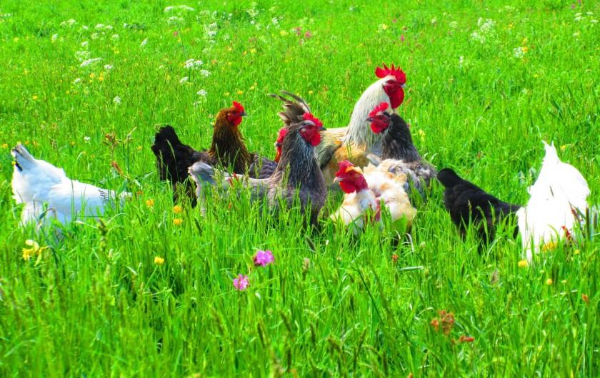 Location de vacances - Gîte à Moudeyres - Notre basse-cour dans la verdure printanière.