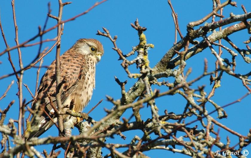 Location de vacances - Gîte à Moudeyres - Ce magnifique faucon crécerelle niche chaque année dans la propriété.