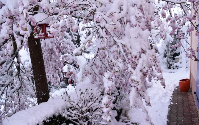 Location de vacances - Villa à Pierre-Châtel - Retour de la neige après floraison des cerisiers Japonais
