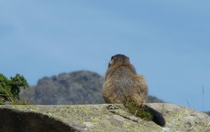 Une marmotte songeuse...