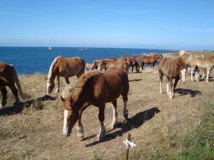 Location de vacances - Gîte à Brélès - Les chevaux de trait sur la route touristique le long de la côte sauvage.