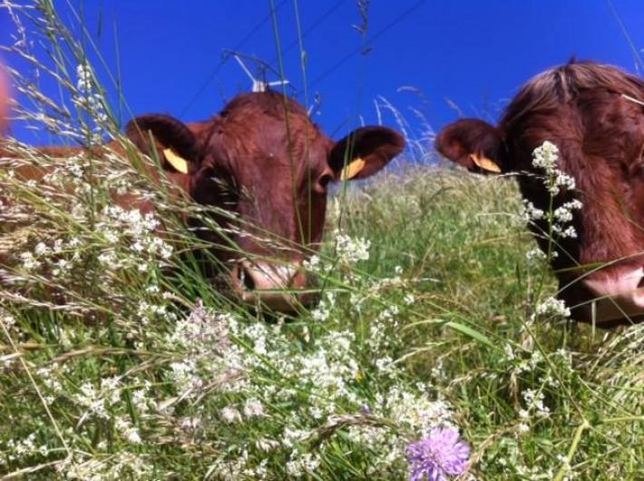 Location de vacances - Maison - Villa à Roumegoux - nos vaches de race salers